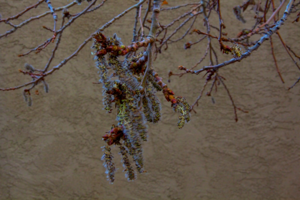 Catkins against wall Ellsworth at Dailey Park Denver March 2012 (1)