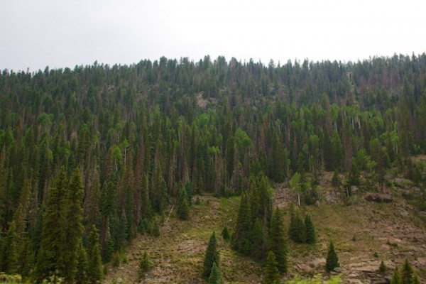 beetle kill trees, pine bark beetle, hot fires, Colorado wildfires, West Fork Fire