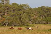 Chincoteague ponies fall 2012