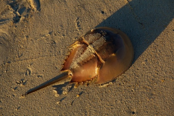Horseshoe crab with tail and shadow, Outer Banks, NC, Oct 2012